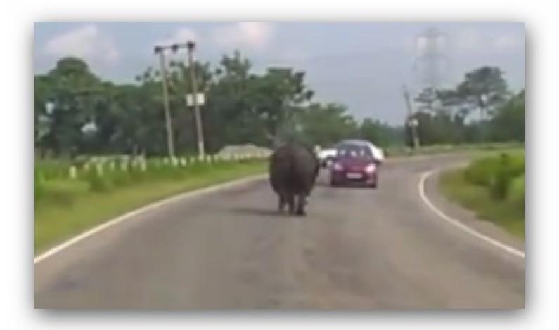 ……….   وحيد قرن يهاجم المارة